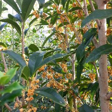 #sottobosco : olea fragrans…
